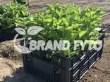 Саженцы плодовых деревьев из Греции - фото 2