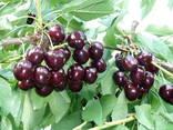 Саженцы плодовых деревьев из Греции - фото 7