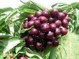 Саженцы плодовых деревьев из Греции - фото 8